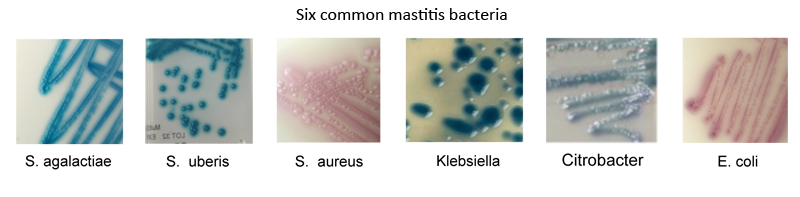 Some of the most common mastitis causing bacteria grown up from clinical samples