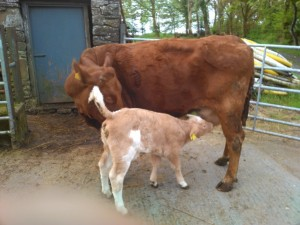 KCH Calves have arrived