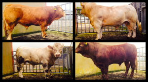 Gene Ireland AI Bulls for Sale