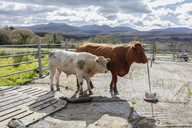 Smaller cows can produce heavier weanlings